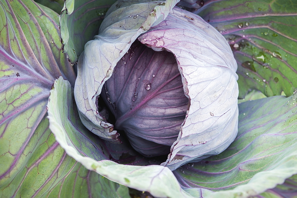 Purple Cabbage (Brassica Oleracea) Growing In Georgeson Botanical Garden, Fairbanks, Alaska, United States Of America