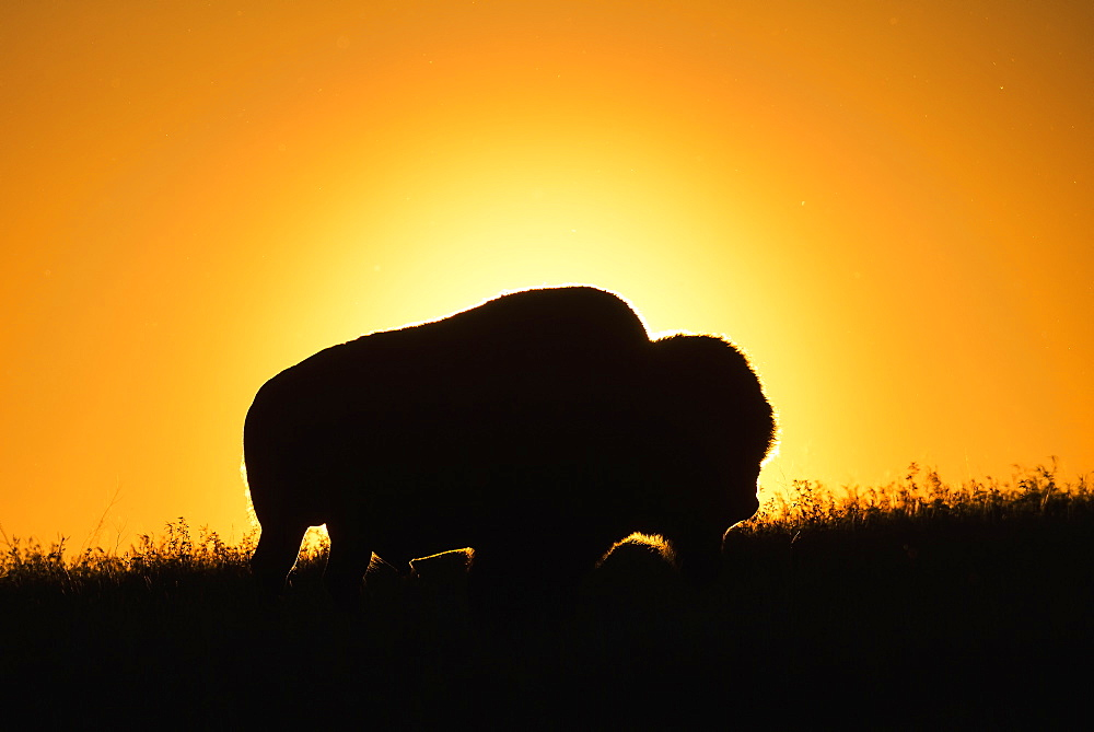Silhouette Of A Bison At Sunset, Grasslands National Park, Saskatchewan, Canada