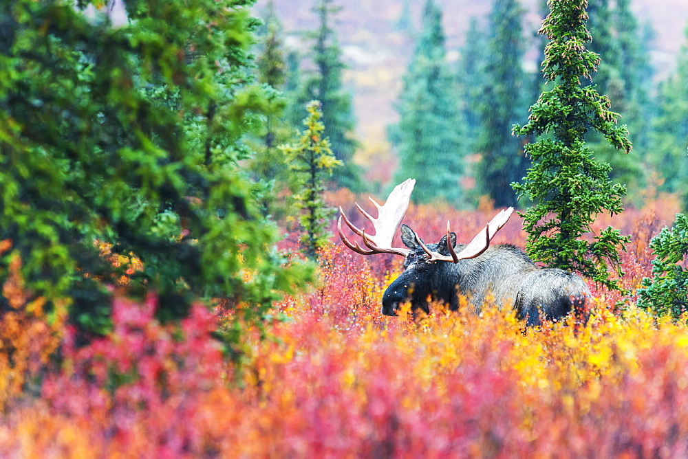 Moose Bull In Autumn Coloured Bushes, Denali, Alaska, United States Of America