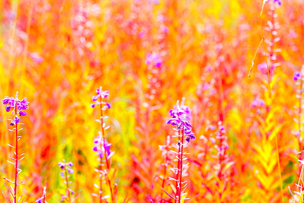 Fireweed, Kennicott, Alaska, United States Of America