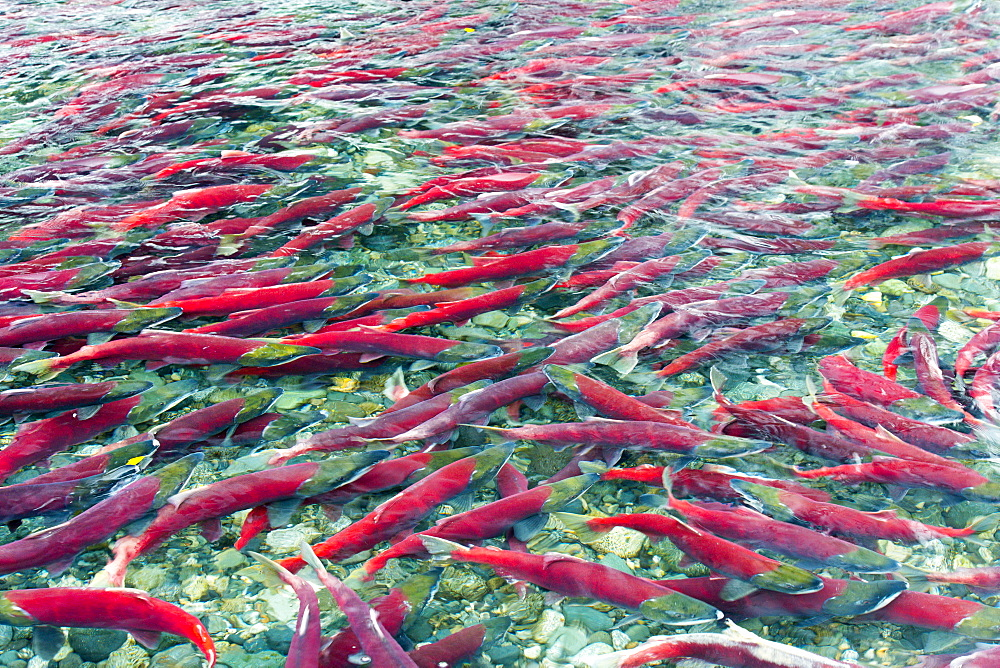 Group Of Sockeye Salmon In Shallow Water, Paxson, Alaska, United States Of America