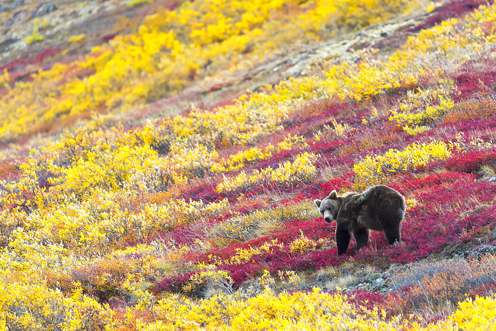 Grizzly Bear (Ursus Arctos Horribilis) Eating The Last Berries In Autumn, Denali, Alaska, United States Of America