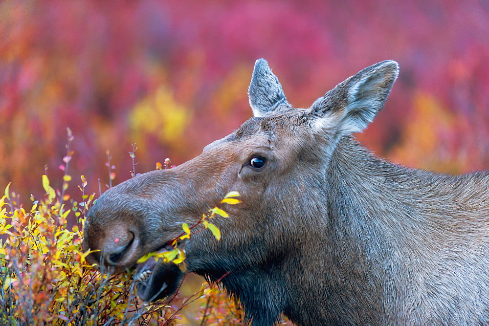 Close Up Of A Moose Cow Eating, Denali, Alaska, United States Of America