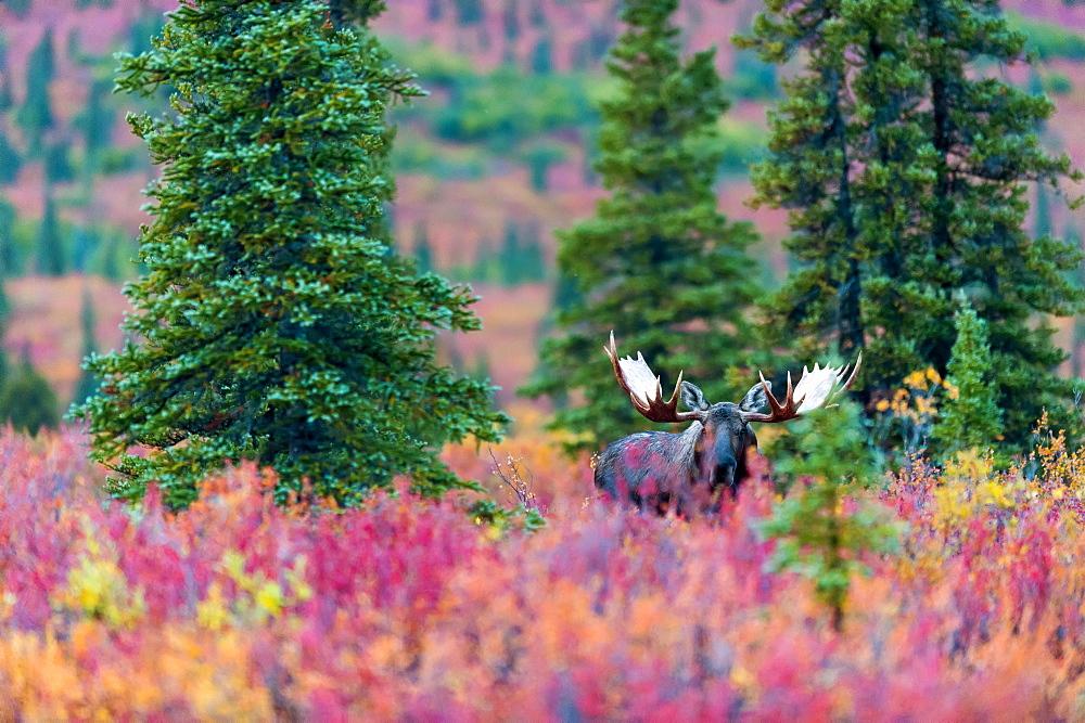 Moose Bull In The Autumn Coloured Bushes, Denali, Alaska, United States Of America