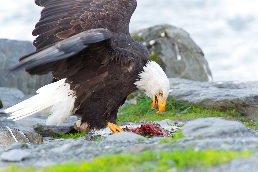 Bald Eagle (Haliaeetus Leucocephalus) Eating Salmon With Open Wings