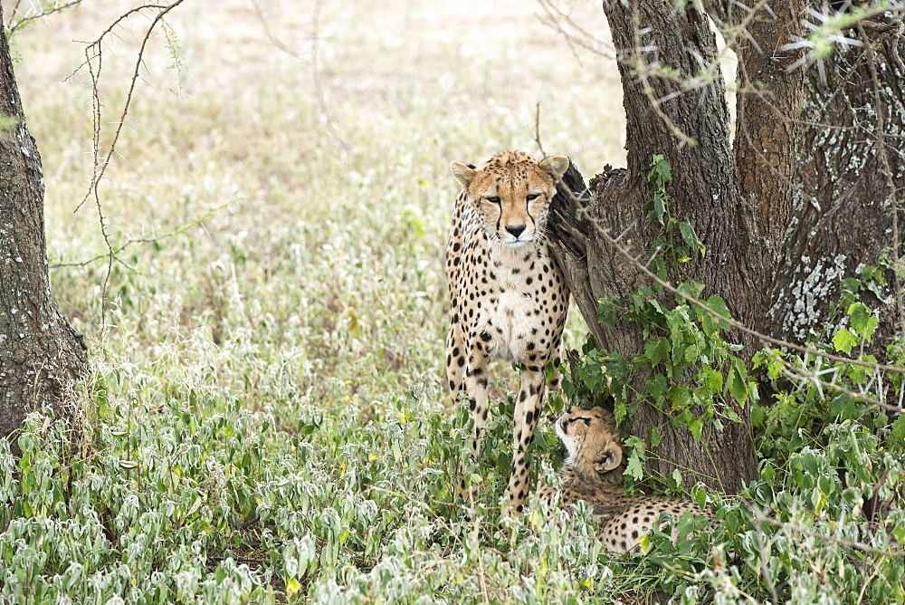 Female Cheetah (Acinonyx Jubatus) Rubs Against Tree Trunk While Young Cub Looks Up At Her From Below Near Ndutu, Ngorongoro Crater Conservation Area, Tanzania