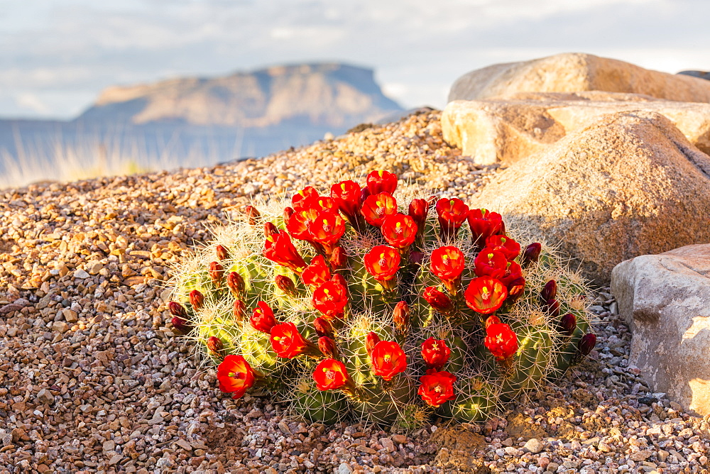 Close Up View Of Claret Cup Cactus (Echinocereus) Flowers At Sunset With Mt. Garfield In The Background, Colorado, United States Of America