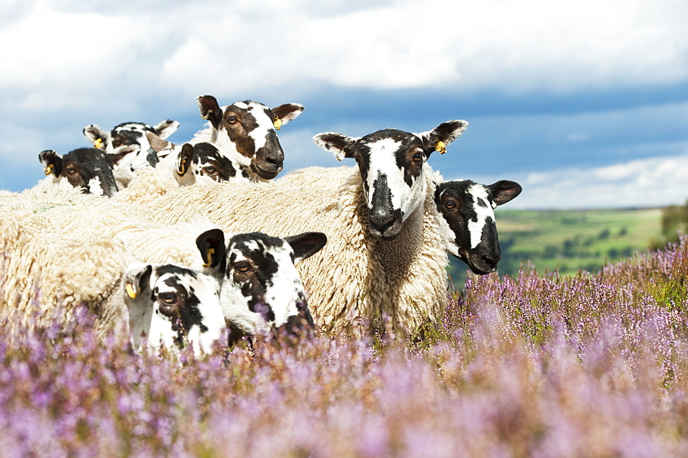 Mule Gimmer Lambs Out Of Dalesbred Sheep On Heather Moorland Above Pateley Bridge, North Yorkshire, England