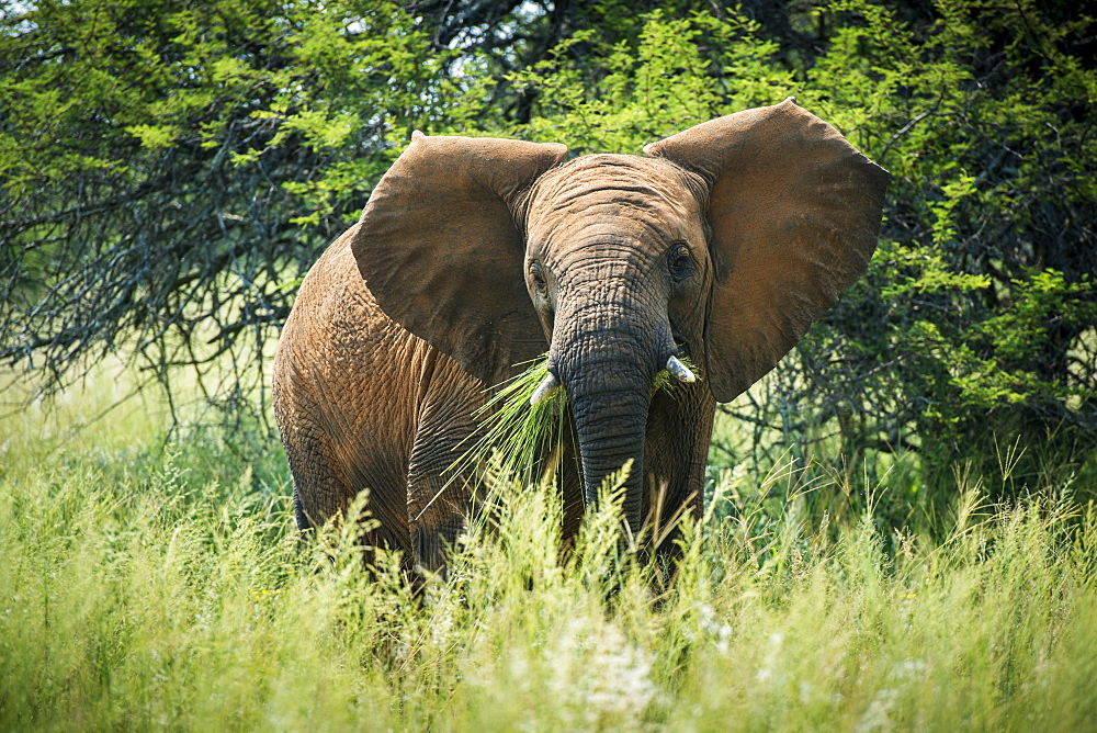 Elephant (Elephantidae) Feeding At Dinokeng Game Reserve, South Africa