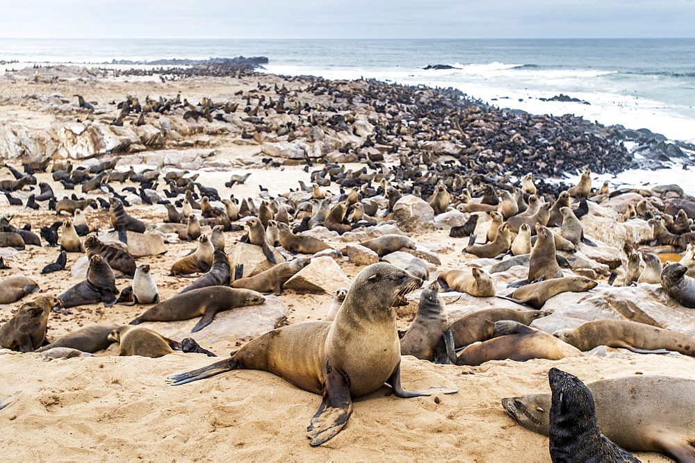 Cape Fur Seals (Pinnipedia) On The Seal Reserve Of The Skeleton Coast, Cape Cross, Namibia
