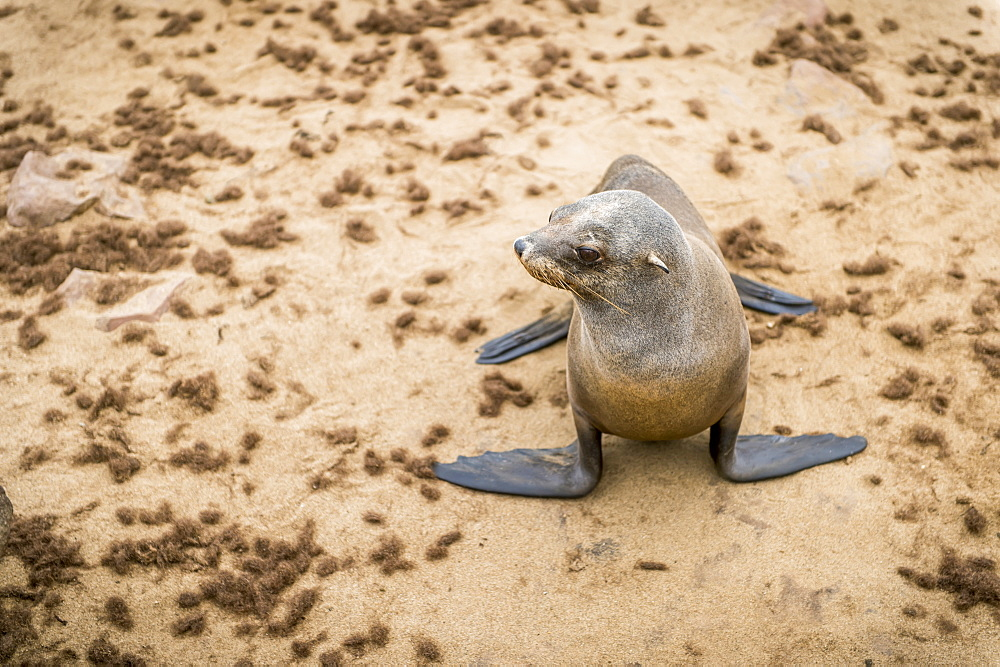 Cape Fur Seal (Pinnipedia) On The Seal Reserve Of The Skeleton Coast, Cape Cross, Namibia