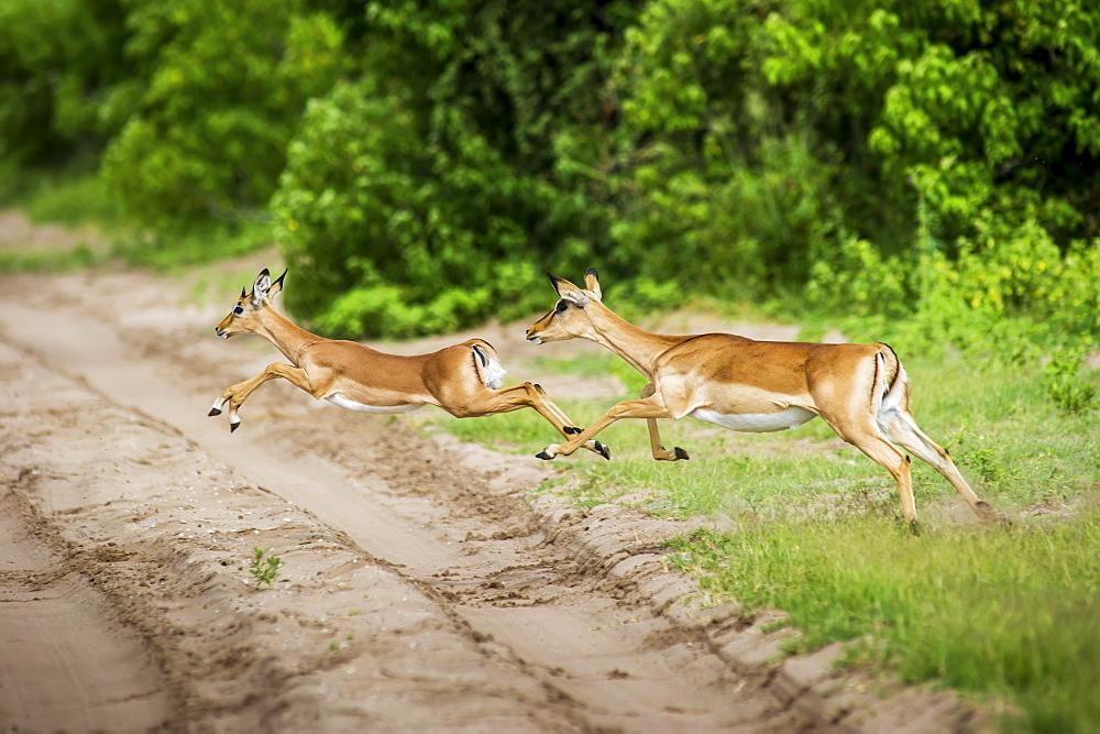 Impala (Aepyceros Melampus), Chobe National Park, Kasane, Botswana