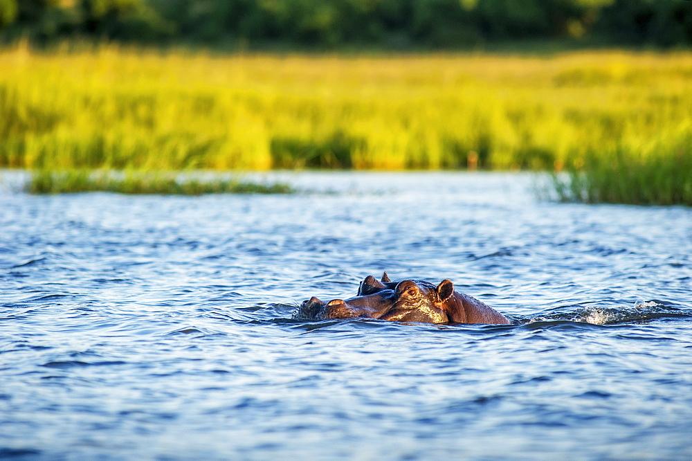 Hippo (Hippopotamus Amphibius), Chobe National Park, Kasane, Botswana