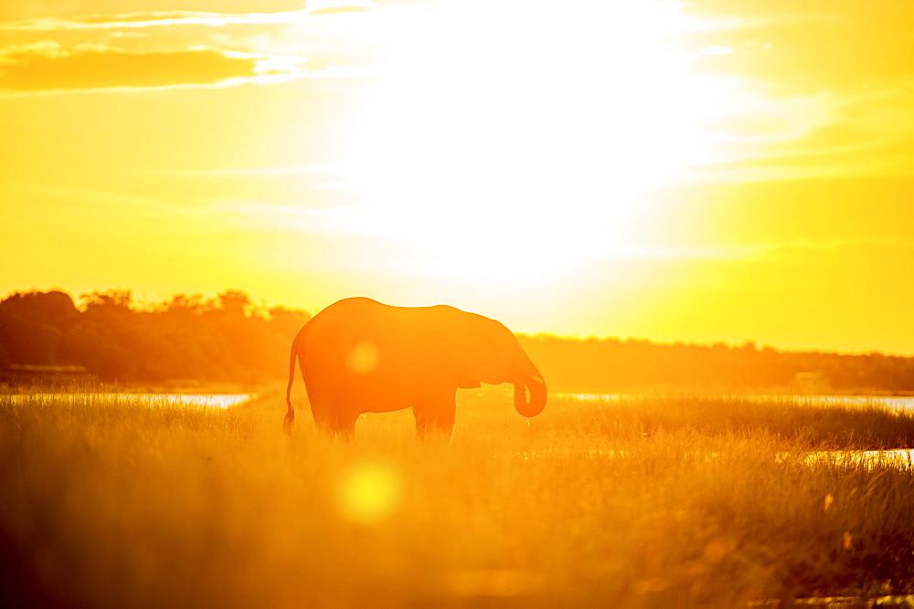 African Elephant (Loxodonta), Chobe National Park, Kasane, Botswana