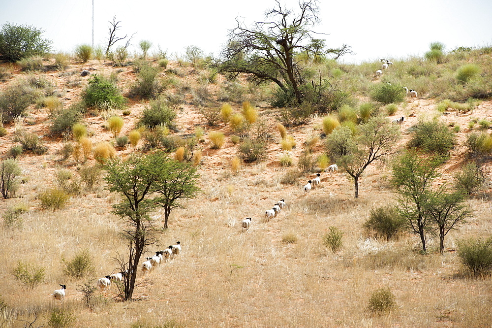 Sheep Walking In A Row On A Farm, Namibia
