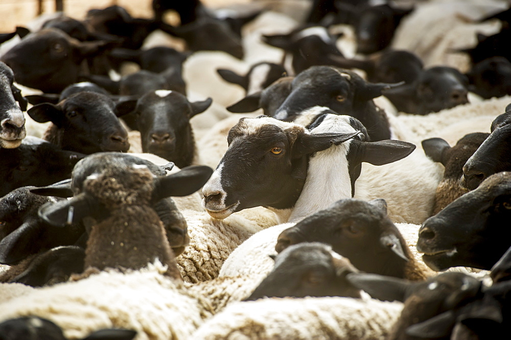 Sheep On A Farm, Namibia