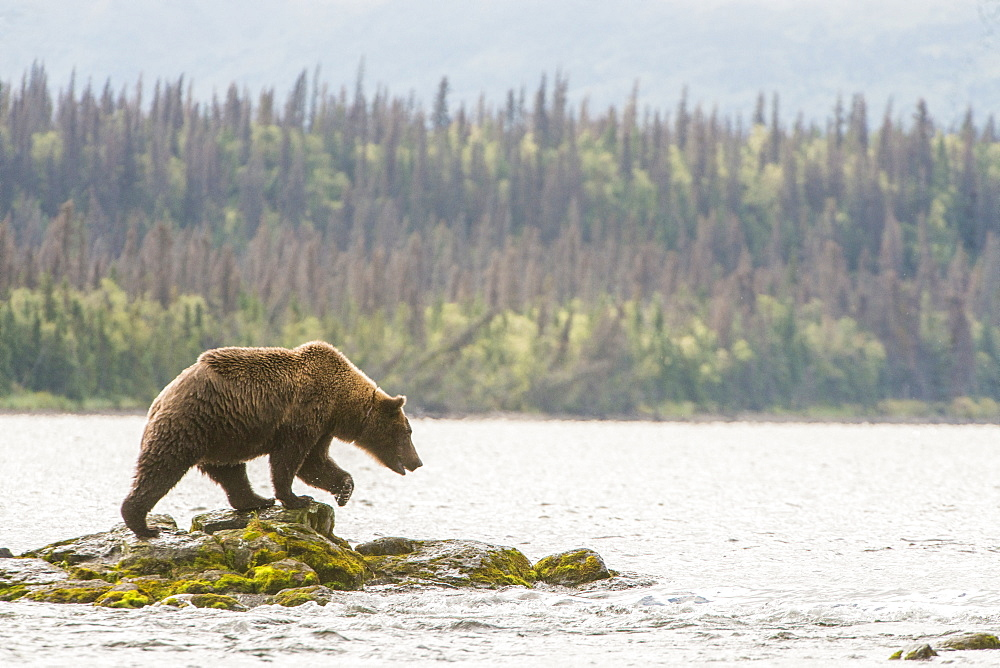 Brown Bear (Ursus Arctos) Fishing In River, Alaska, United States Of America