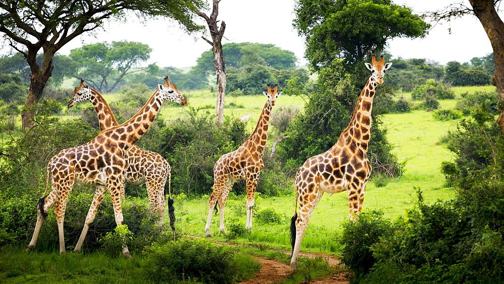 Giraffes (Giraffa Camelopardalis), Murchison Falls National Park, Urganda