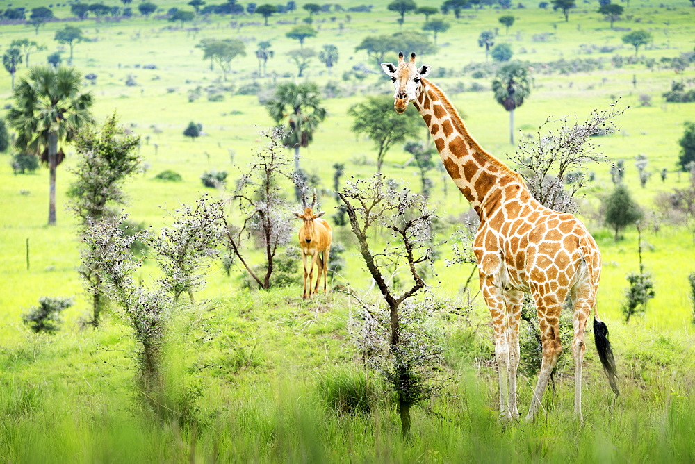 Giraffe (Giraffa Camelopardalis) Looking At Camera With Antelope In The Background, Murchison Falls National Park, Uganda