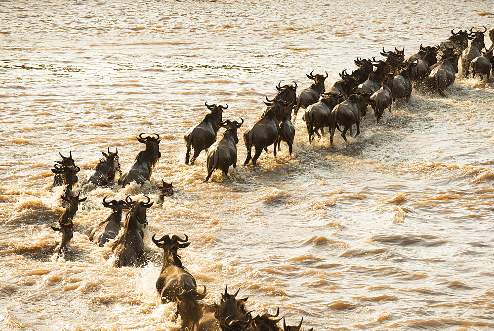 Migrating Wildebeest (Connochaetes Taurinus) Cross The Flooded Mara River In Serengeti National Park, Tanzania