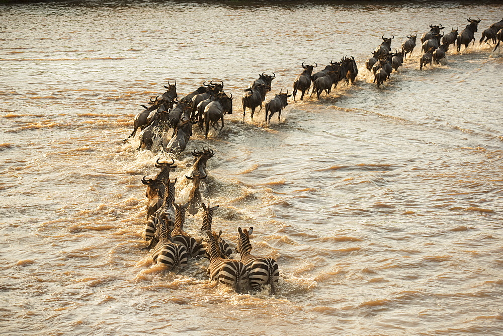 Mixed Group Of Zebras (Equus Quagga) And Wildebeest (Connochaetes Taurinus) Crossing The Flooded Mara River In Serengeti National Park, Tanzania