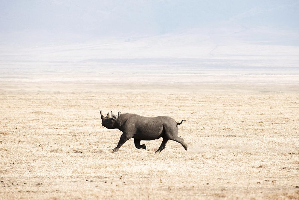 Black Rhinoceros (Diceros Bicornis) Running Across Dry, Dusty Savannah, Ngorongoro Crater, Tanzania
