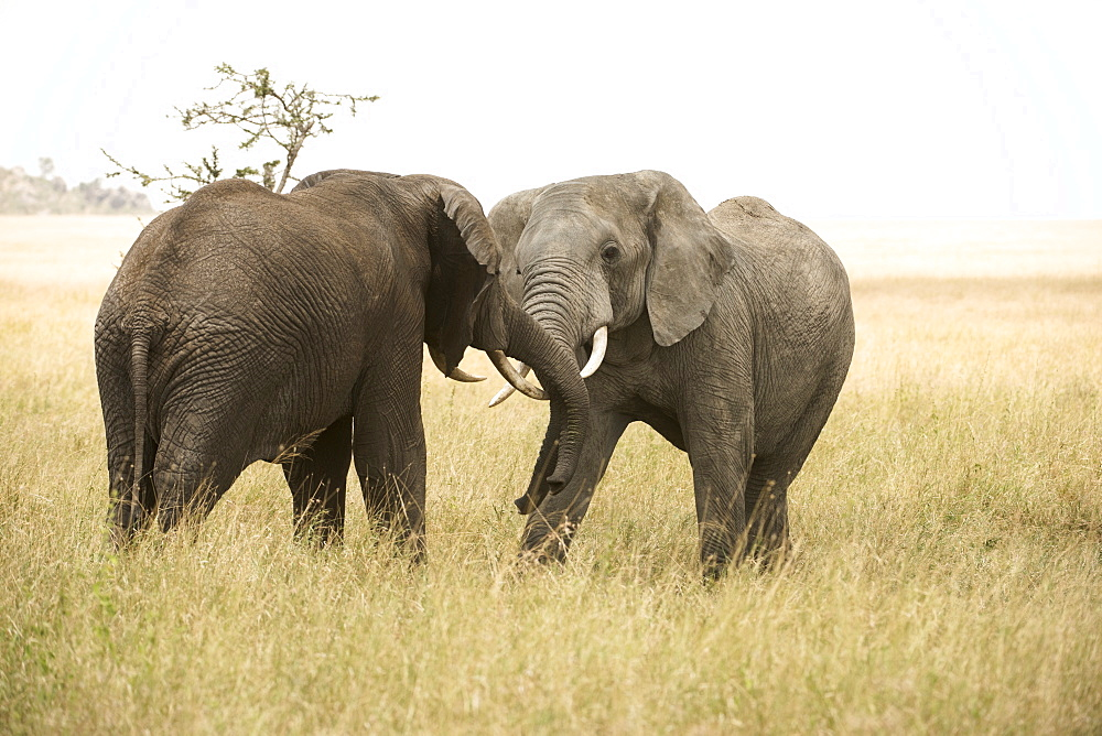 Young Bull Elephants (Loxodonta Africana) Sparring, Serengeti National Park, Tanzania