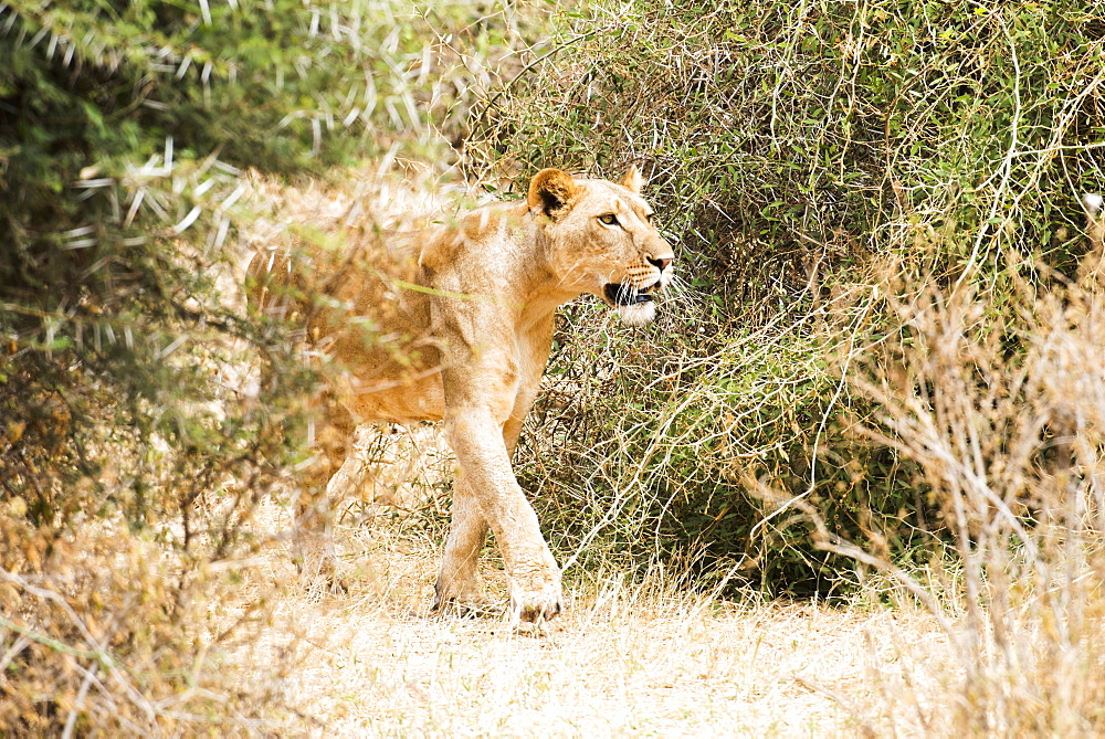 Lioness (Panthera Leo) Stalking Prey, Samburu National Reserve, Kenya