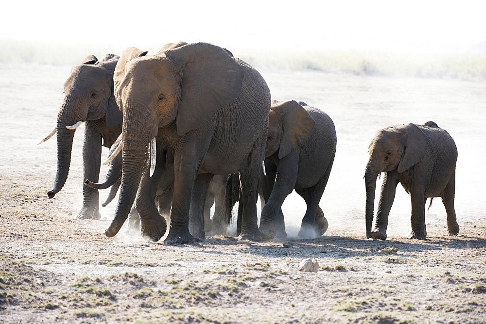 African Elephant (Loxodonta Africana) Family Walks Across Dusty Plain, Amboseli National Park, Kenya