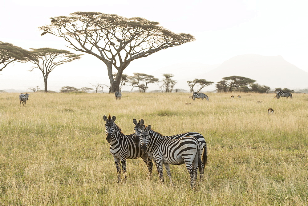 Common Zebras (Equus Quagga) Stand In Dry Season Savannah, Serengeti National Park, Tanzania