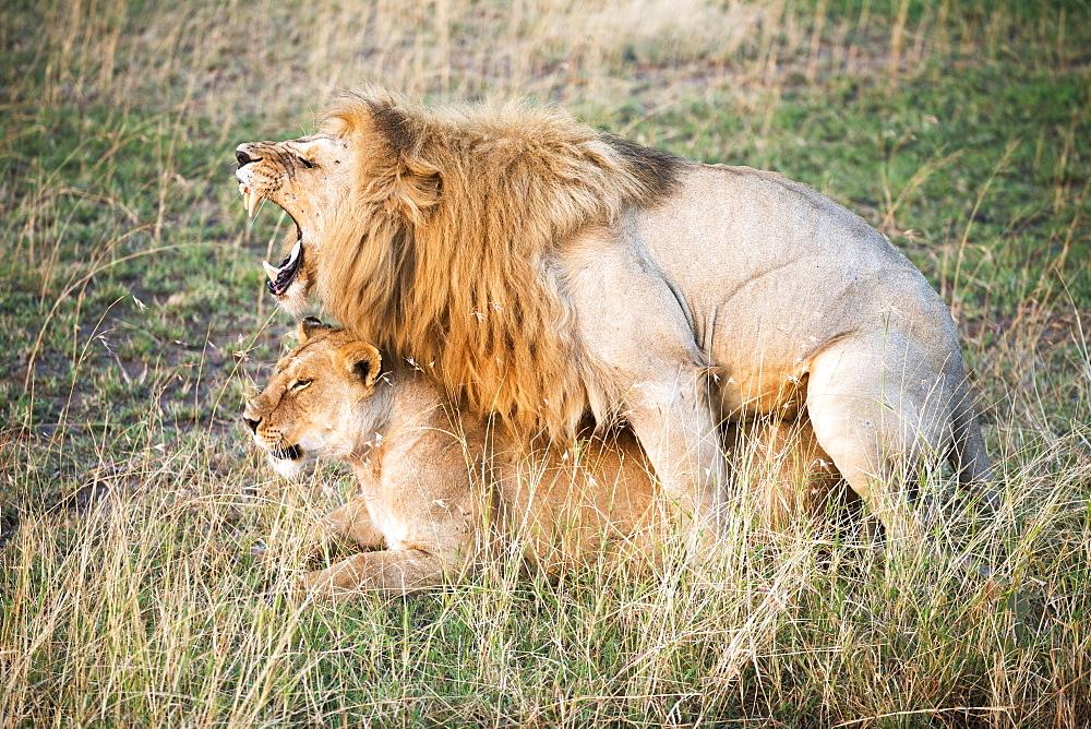 Mating Lions (Panthera Leo), Serengeti National Park, Tanzania