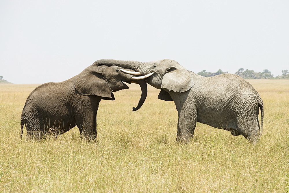 Young Bull African Elephants (Loxodonta Africana) Sparring With Trunks And Tusks Intertwined, Serengeti National Park, Tanzania