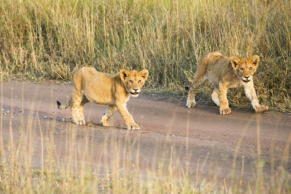 Two Small Lion (Panthera Leo) Cubs Walking Down Dirt Road, Serengeti National Park, Tanzania