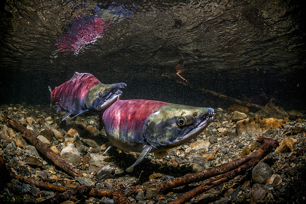 Sockeye Salmon (Oncorhynchus Nerka) Spawning Pair Positioned Over A Redd That Is Under Construction.