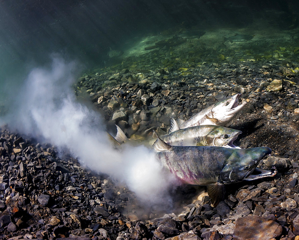 Chum Salmon (Oncorhynchus Keta) Spawning, Underwater View In An Alaskan Stream During Summer.