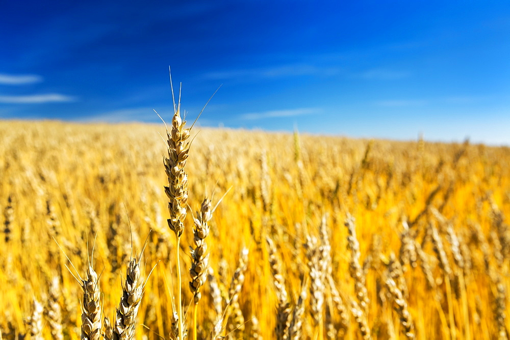 Close Up Of A Ripe Wheat Head In A Golden Field With Blue Sky And Cloud, Acme, Alberta, Canada