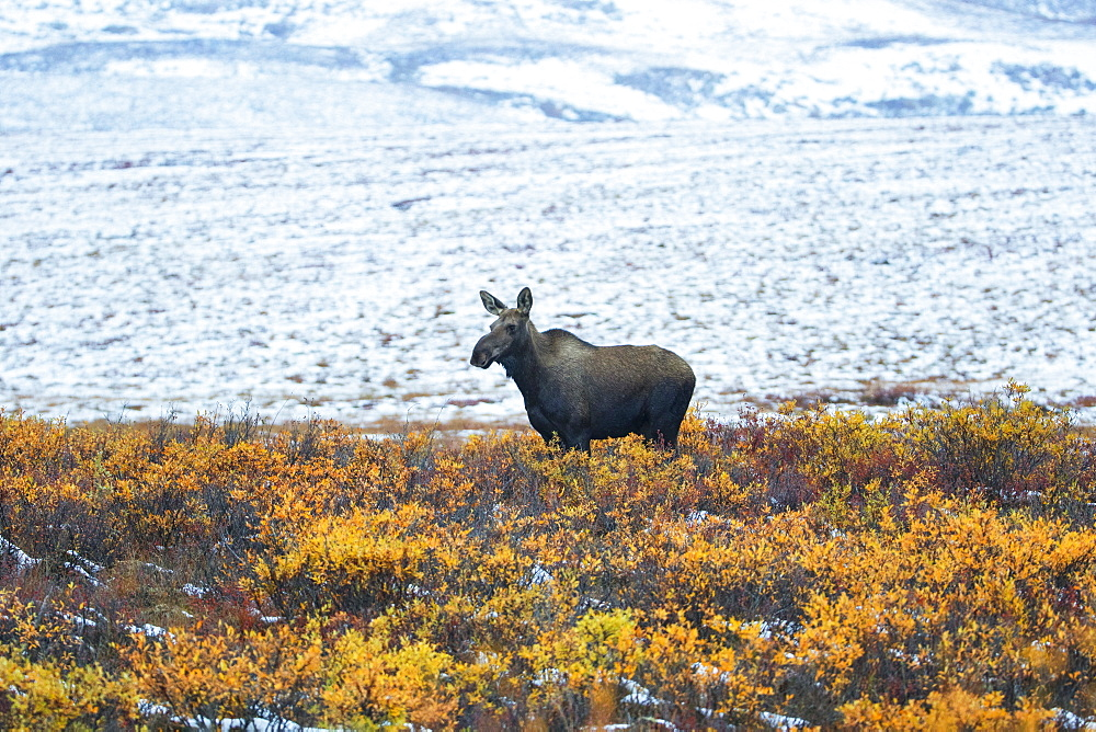 Moose (Alces Alces) Along The Dempster Highway, Yukon, Canada