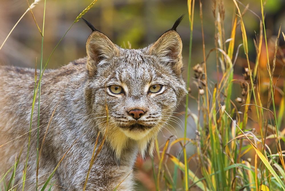 Canadian Lynx (Lynx Canadensis) Walking Through The Underbrush, Yukon, Canada