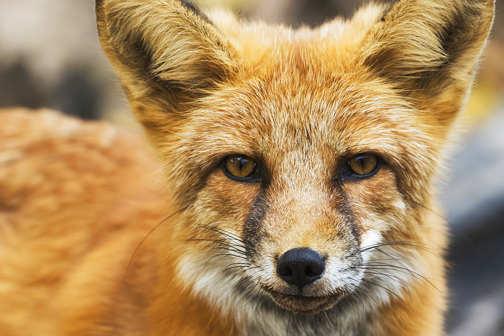 Red Fox (Vulpes Vulpes), Yukon, Canada