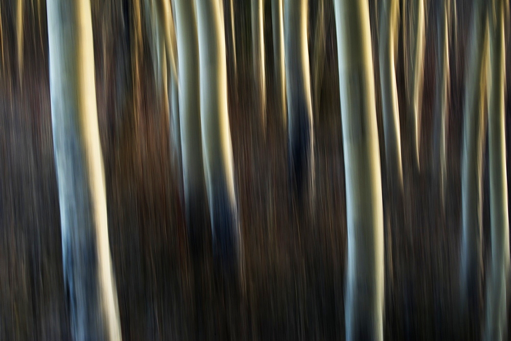 Artistic View Of Aspen Trees Using A Vertical Panning Technique, Carcross, Yukon, Canada