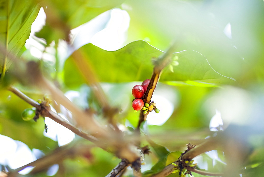 Coffee Cherries On The Tree, Ready To Be Harvested, Sumatra, Indonesia