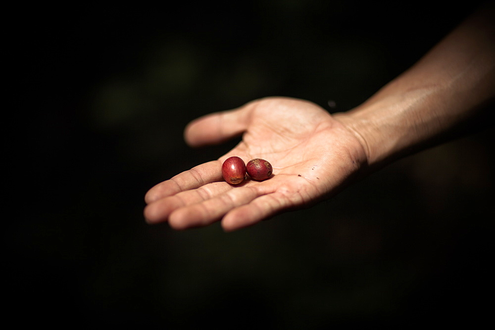 Two Ripe Coffee Cherries Are Held Out For Inspection, Sumatra, Indonesia
