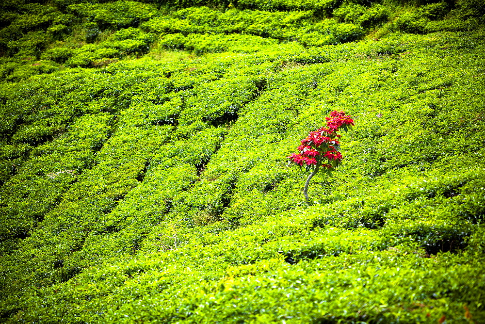 A Lone Poinsettia Plant Stands Above The Green Tea Leaves Of A Sumatran Tea Plantation, Sumatra, Indonesia