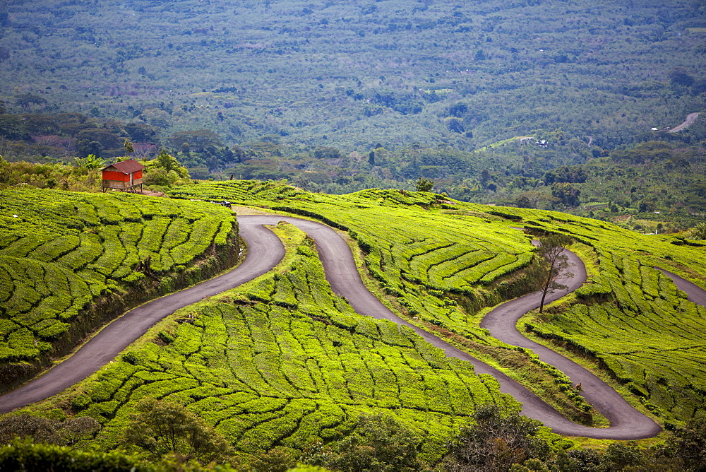 A Road Winds Through A Tea Plantation, Sumatra, Indonesia