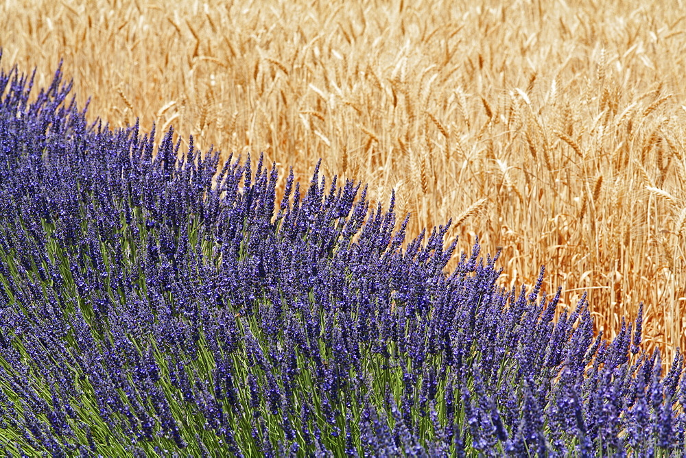 Lavender Against A Wheat Field, Provence, France