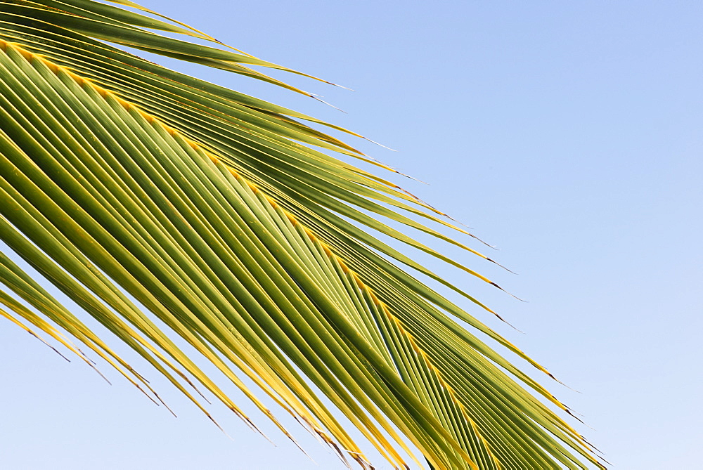 Low Angle View Of A Palm Leaf Against A Blue Sky, Waikaloa, Island Of Hawaii, Hawaii, United States Of America