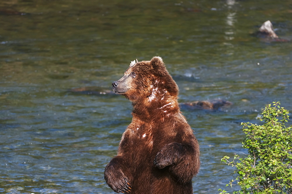 A Scarred Brown Bear Stands To Scratch His Back Alongside Brooks River, Southwest Alaska, Summer