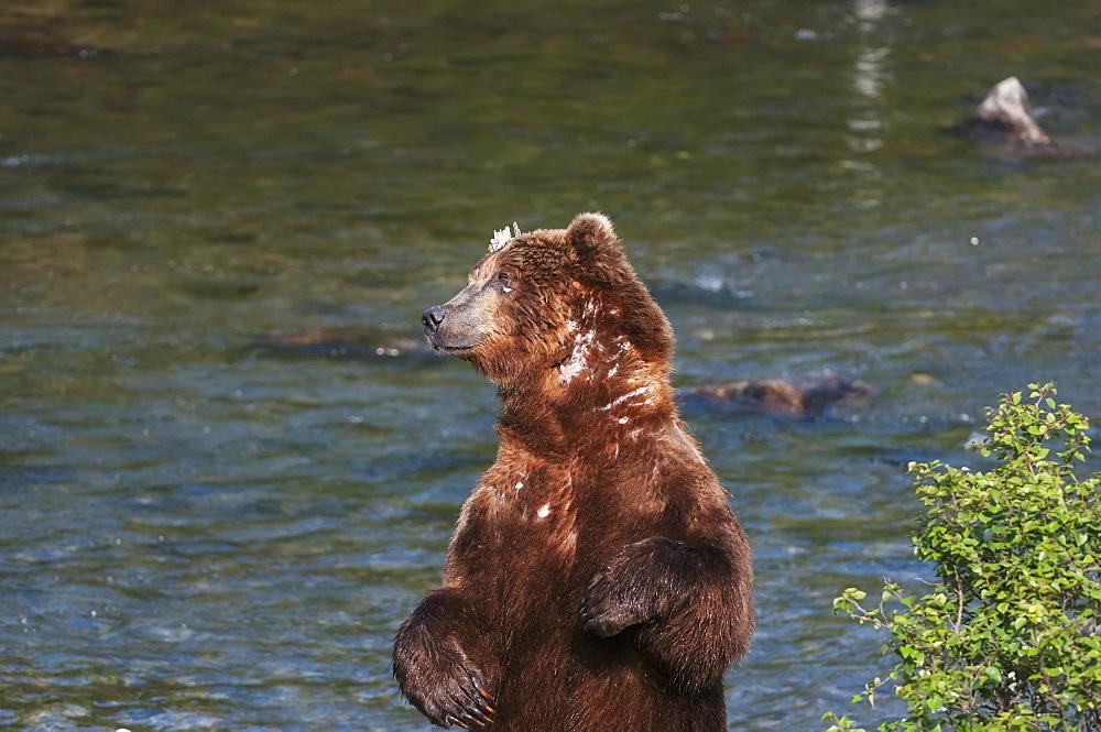 A Scarred Brown Bear Stands To Scratch His Back Alongside Brooks River, Southwest Alaska, Summer