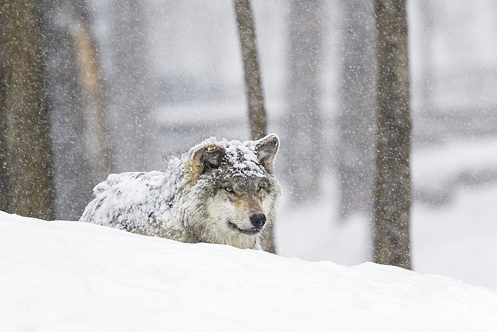 Grey Wolf (Canis Lupus) During A Snow Storm, Montebello, Quebec, Canada