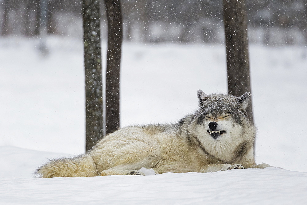 Grey Wolf (Canis Lupus) Showing Submission Behaviour, Montebello, Quebec, Canada